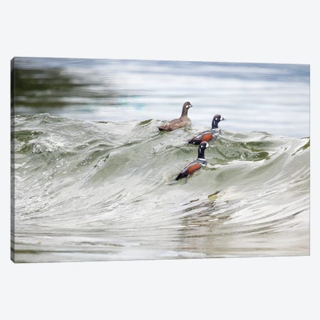 Harlequin  Ducks Crest a Wave 3-Piece Canvas #MEO14} by Melissa Groo Canvas Print