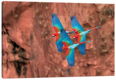 Red-and-green Macaws Flying Free Canvas Art Print