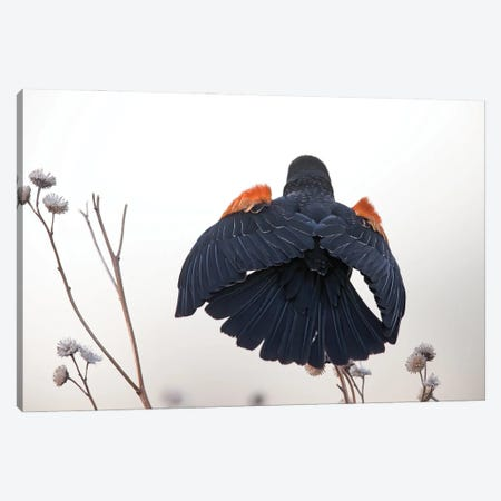 Red-winged Blackbird Display Canvas Print #MEO17} by Melissa Groo Art Print