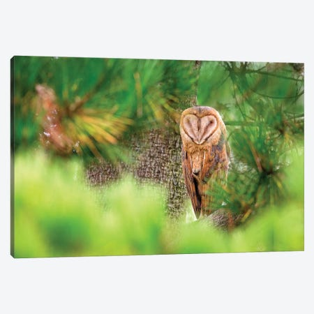 Barn Owl Resting Canvas Print #MEO20} by Melissa Groo Art Print