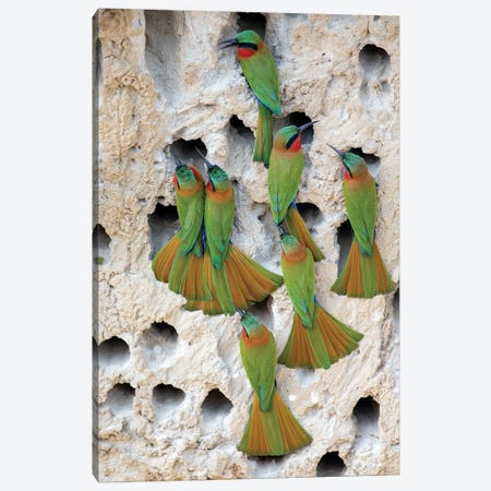 Red-throated Bee-eaters, Uganda Canvas Print #MEO22} by Melissa Groo Canvas Print