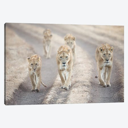 Lions Strolling, Tanzania Canvas Print #MEO24} by Melissa Groo Canvas Wall Art
