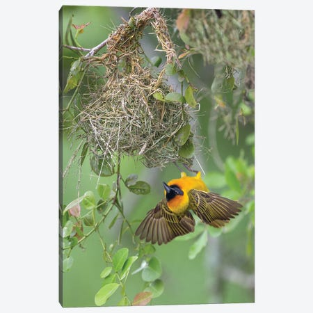 Weaver At Nest, Uganda Canvas Print #MEO30} by Melissa Groo Canvas Wall Art