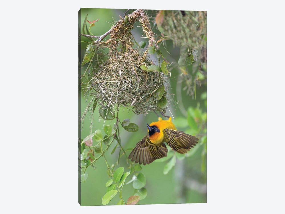 Weaver At Nest, Uganda by Melissa Groo 1-piece Canvas Wall Art