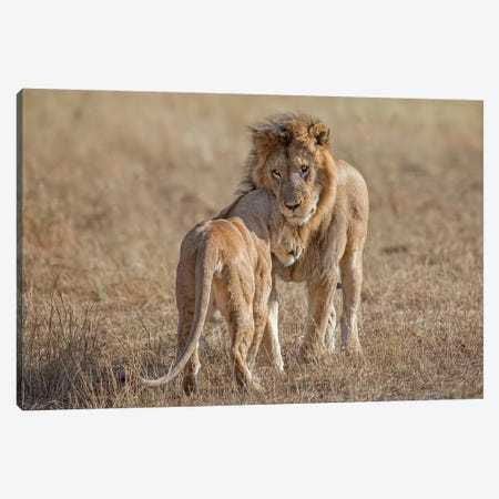 Lion and Lioness Reuniting After Separation, Tanzania Canvas Print #MEO31} by Melissa Groo Canvas Wall Art