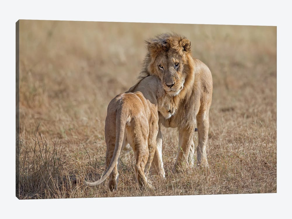 Lion and Lioness Reuniting After Separation, Tanzania by Melissa Groo 1-piece Canvas Print
