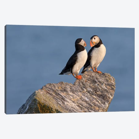 Atlantic Puffin Pair, Maine Canvas Print #MEO32} by Melissa Groo Canvas Artwork