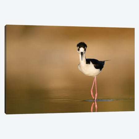 Black-necked Stilt Portrait Canvas Print #MEO33} by Melissa Groo Canvas Wall Art
