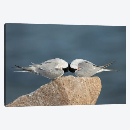 Common Terns, Mirrored 3-Piece Canvas #MEO34} by Melissa Groo Art Print