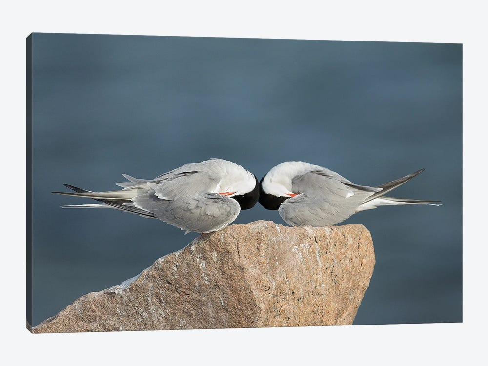 Common Terns, Mirrored by Melissa Groo 1-piece Canvas Artwork