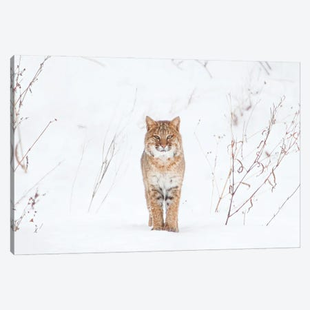 Bobcat in Winter Canvas Print #MEO35} by Melissa Groo Art Print