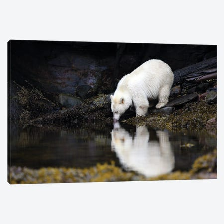 Spirit Bear in the Great Bear Rainforest Canvas Print #MEO37} by Melissa Groo Art Print