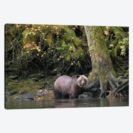 Grizzly Bear in the Great Bear Rainforest Canvas Print #MEO39} by Melissa Groo Canvas Wall Art