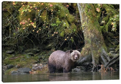 Grizzly Bear in the Great Bear Rainforest Canvas Art Print