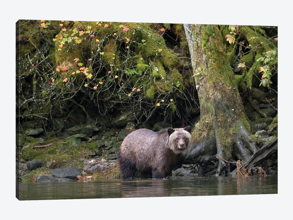 Grizzly Bear in the Great Bear Rainforest by Melissa Groo 1-piece Canvas Art Print