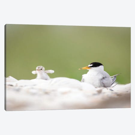 Least Tern Chick Tests His Wings Canvas Print #MEO40} by Melissa Groo Canvas Art Print