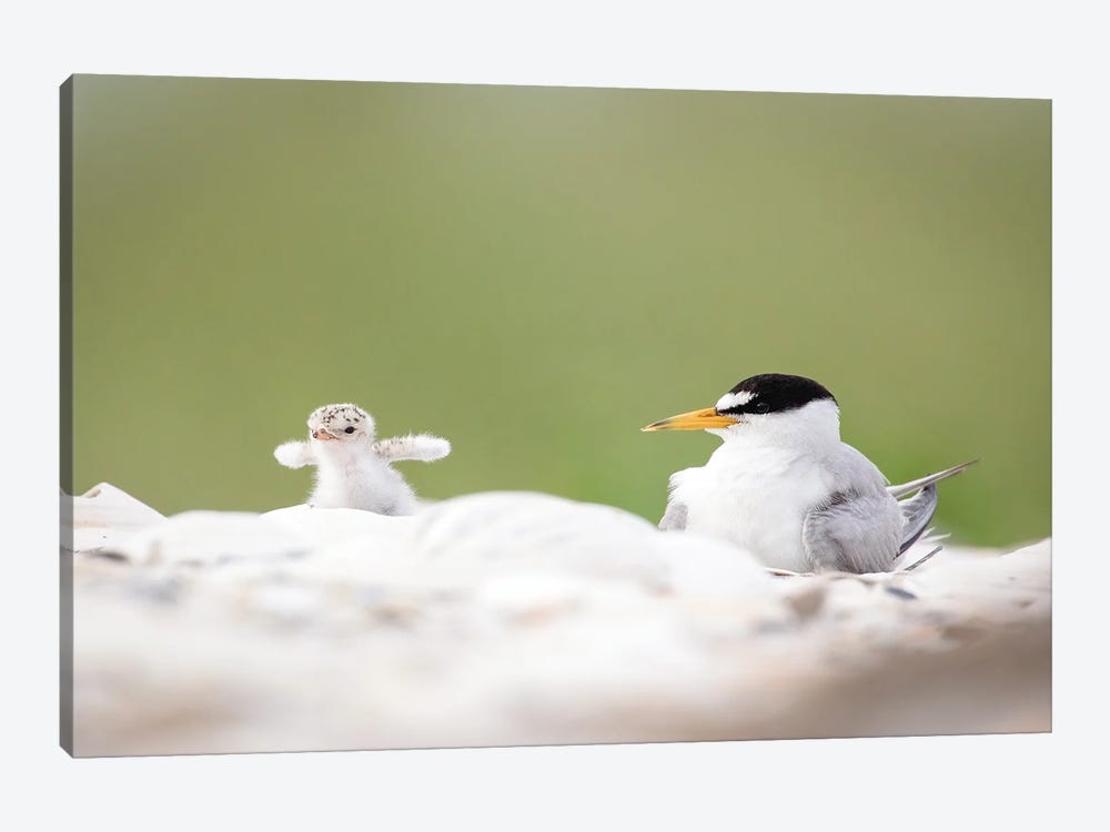 Least Tern Chick Tests His Wings by Melissa Groo 1-piece Canvas Print