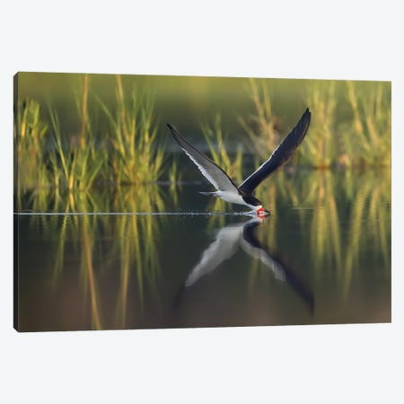 Black Skimmer on the Hunt Canvas Print #MEO41} by Melissa Groo Canvas Print