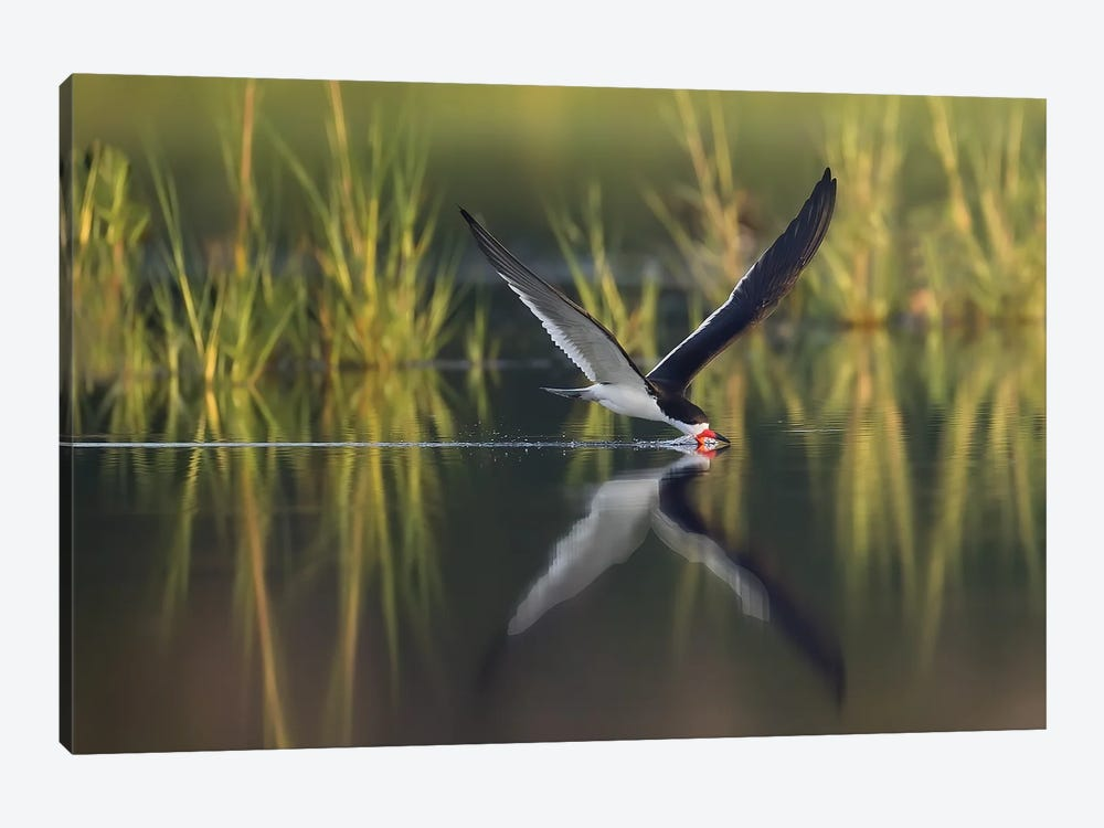 Black Skimmer on the Hunt by Melissa Groo 1-piece Canvas Art