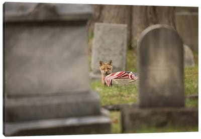 Red Fox Kit in Cemetery with Fallen Flag Canvas Art Print