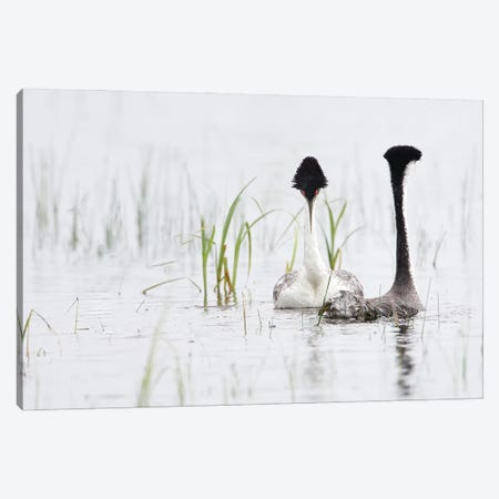 Western Grebe Pair Canvas Print #MEO43} by Melissa Groo Canvas Print
