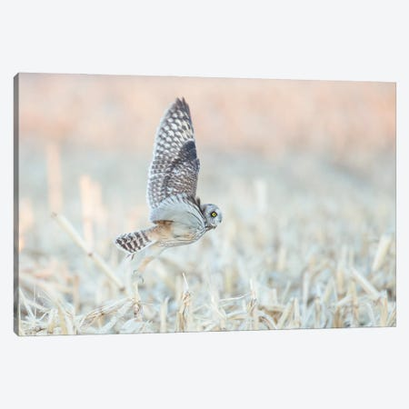 Short-eared Owl Begins the Hunt at Dusk Canvas Print #MEO44} by Melissa Groo Canvas Art