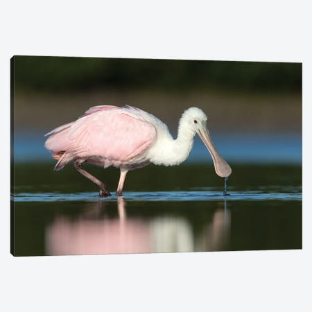 Roseate Spoonbill in Lagoon Canvas Print #MEO47} by Melissa Groo Canvas Artwork