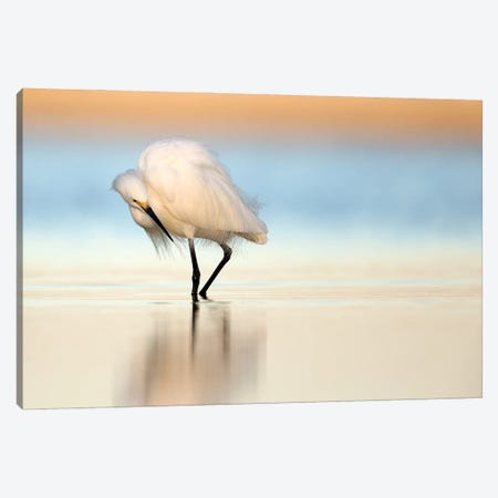 Snowy Egret Hunts At Dawn Canvas Print #MEO48} by Melissa Groo Canvas Print