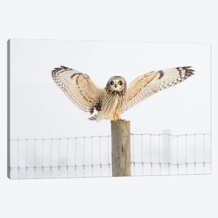 Short-eared Owl on Fencepost 3-Piece Canvas #MEO49} by Melissa Groo Art Print