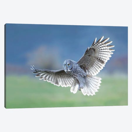 Backlit Great Gray Owl Canvas Print #MEO50} by Melissa Groo Canvas Art