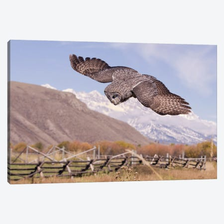 Great Gray Owl in Flight 3-Piece Canvas #MEO51} by Melissa Groo Canvas Artwork