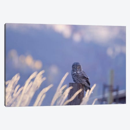Great Gray Owl Intense in Blue Canvas Print #MEO52} by Melissa Groo Canvas Artwork