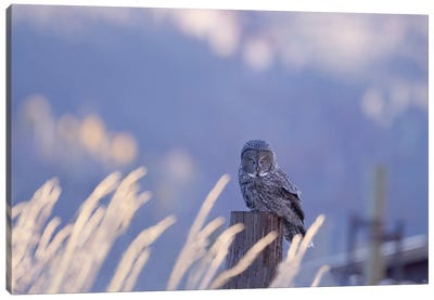Great Gray Owl Intense in Blue Canvas Art Print