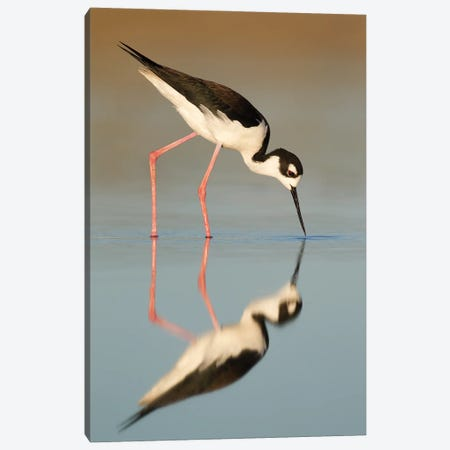 Black-necked Stilt Reflected Canvas Print #MEO58} by Melissa Groo Canvas Wall Art