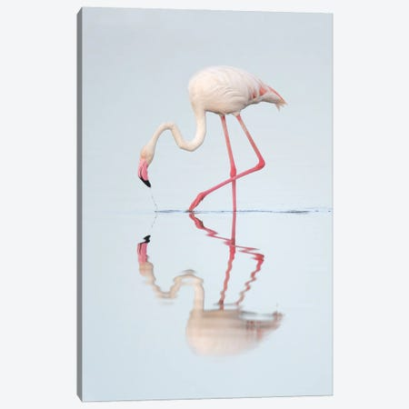 Greater Flamingo Reflected Canvas Print #MEO5} by Melissa Groo Canvas Print