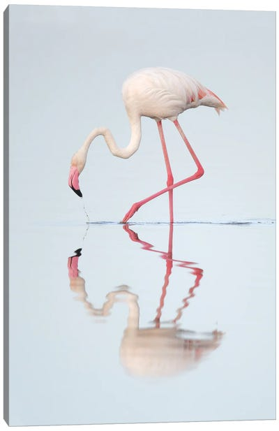 Greater Flamingo Reflected Canvas Art Print