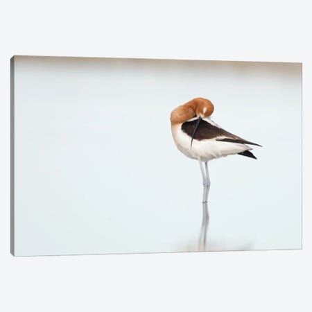 American Avocet Still Life Canvas Print #MEO60} by Melissa Groo Canvas Print