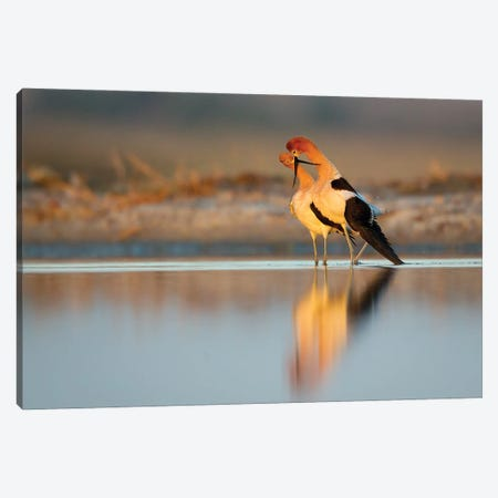 American Avocets Bonding At Sunset Canvas Print #MEO61} by Melissa Groo Canvas Art Print