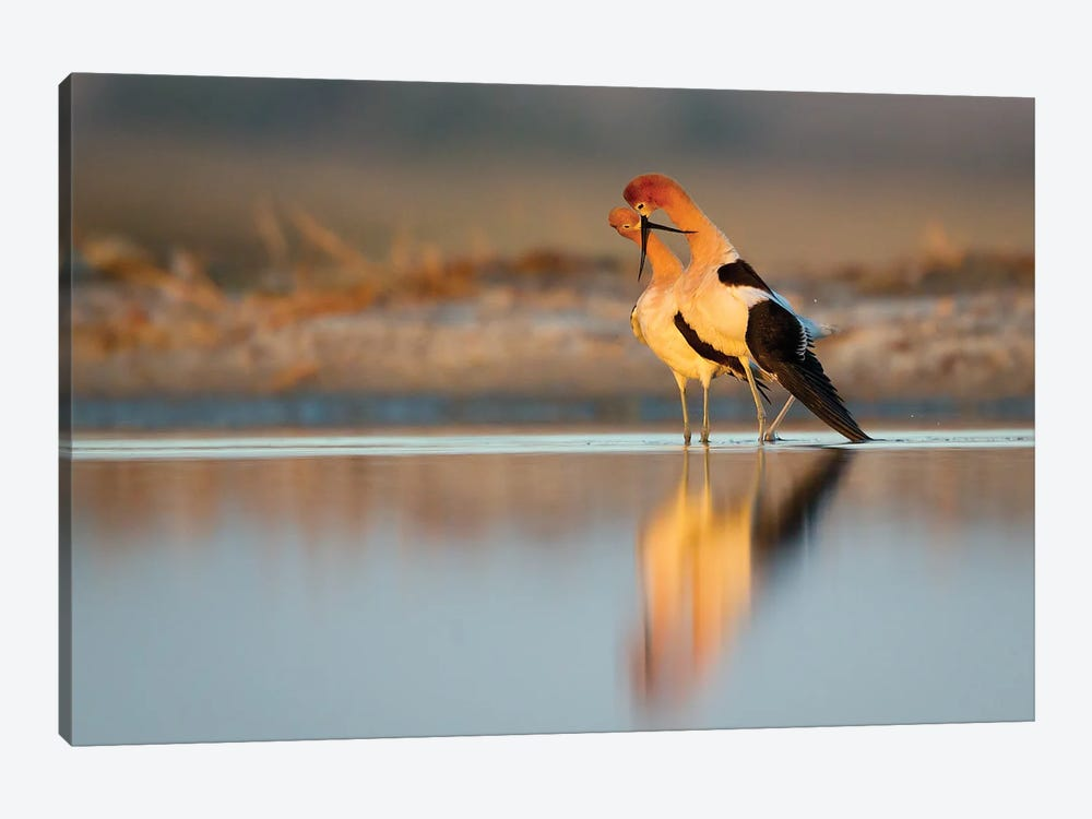 American Avocets Bonding At Sunset by Melissa Groo 1-piece Canvas Art