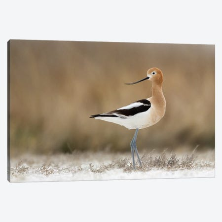 American Avocet Portrait 3-Piece Canvas #MEO63} by Melissa Groo Canvas Art Print