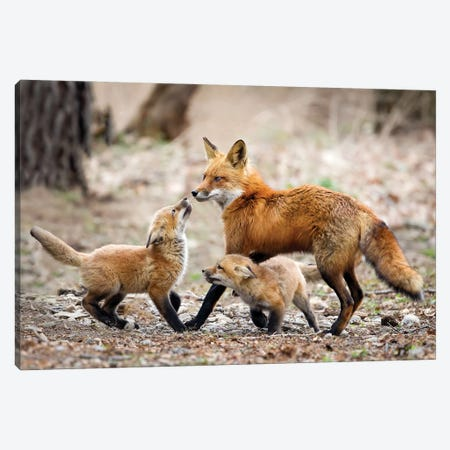 Red Fox Kits Joyously Greet Returning Father Canvas Print #MEO64} by Melissa Groo Canvas Artwork