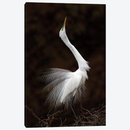 Great Egret Display Canvas Print #MEO65} by Melissa Groo Canvas Artwork