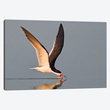 Black Skimmer Skimming at Sunset Canvas Print #MEO68} by Melissa Groo Canvas Art Print