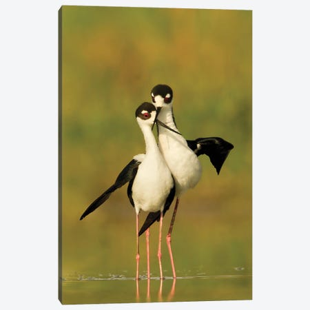 Black-necked Stilts Bonding Canvas Print #MEO69} by Melissa Groo Canvas Print