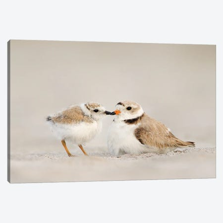 Piping Plover Mother and Chick Canvas Print #MEO71} by Melissa Groo Canvas Artwork