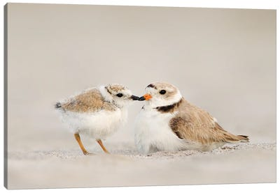 Piping Plover Mother and Chick Canvas Art Print