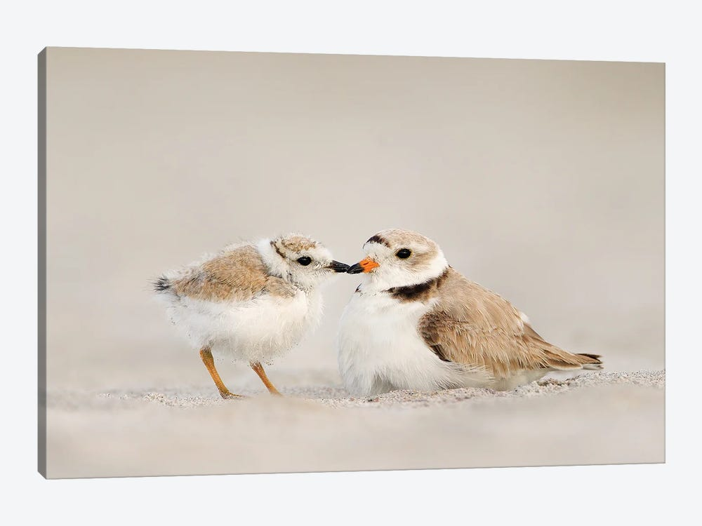 Piping Plover Mother and Chick by Melissa Groo 1-piece Canvas Art Print
