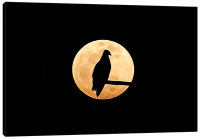 Osprey, Silhouetted Against Full Moon Canvas Art Print