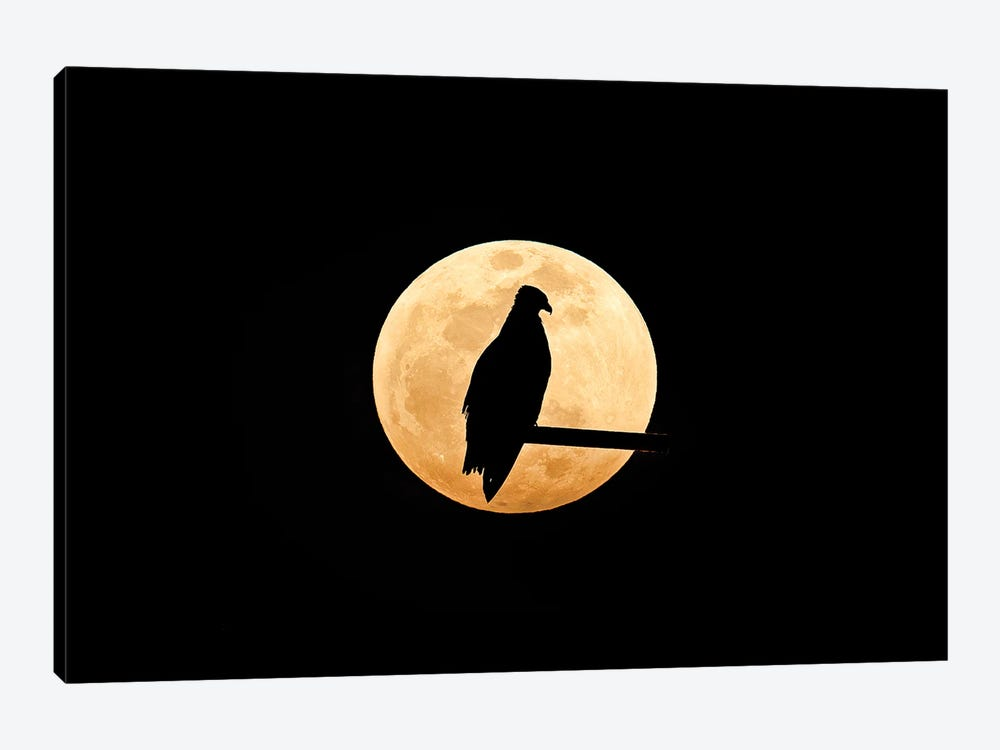 Osprey, Silhouetted Against Full Moon by Melissa Groo 1-piece Canvas Artwork