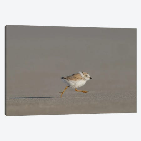 Piping Plover Chick on the Run 3-Piece Canvas #MEO75} by Melissa Groo Canvas Print